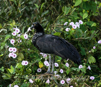 Horned screamer - note the feather in the middle of the head like a unicorn.
